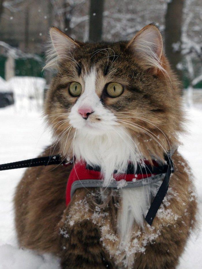 Зимняя прогулка Кот, Прогулка, Снег, Зима, Длиннопост
