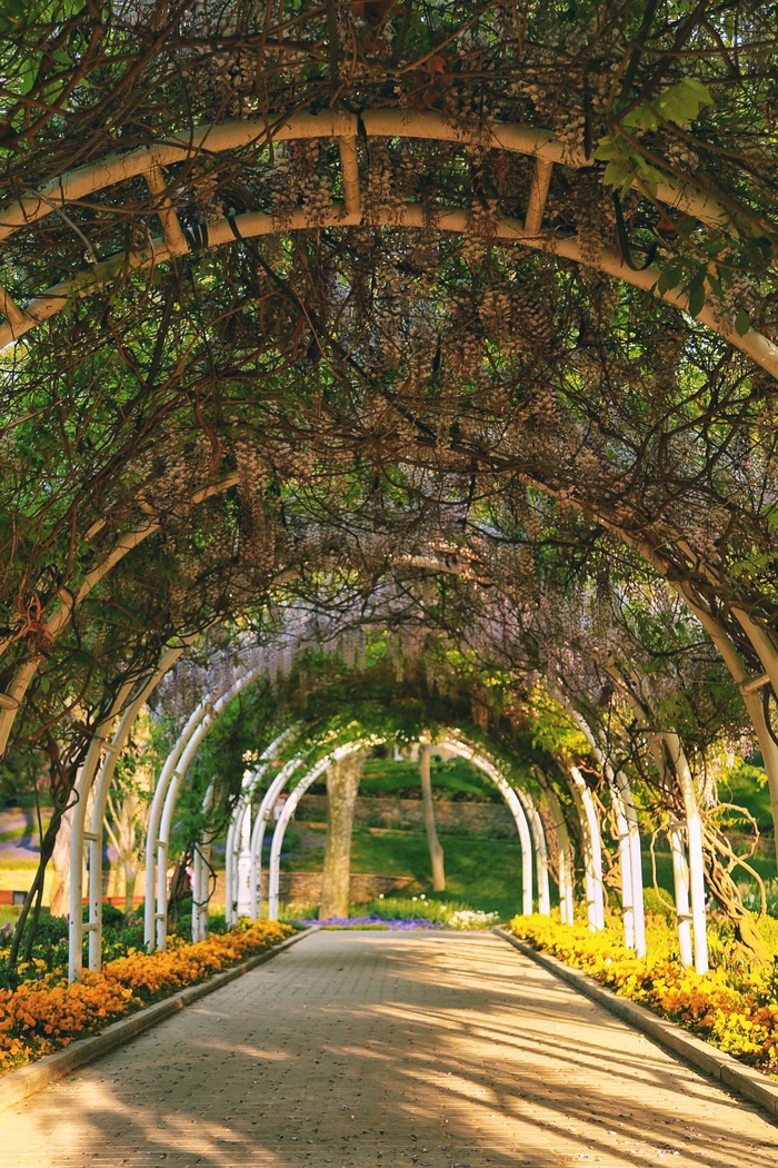 Цветочный тоннель Глициния, Весна, Фотография