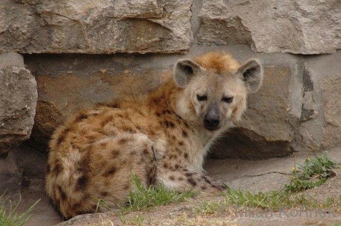 Чем различаются пятнистая гиена и гиеновидная собака? Животные, Собака, Гиена, Клан, Стая, Природа, Интересное, Сравнение, Видео, Длиннопост
