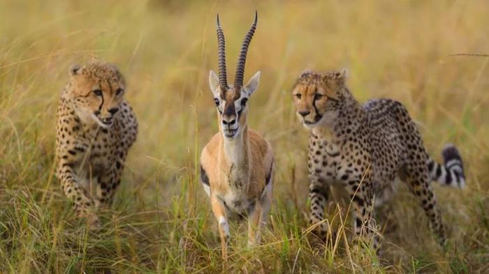 Безысходность Антилопа, Гепард, Животные, Охота, Взгляд