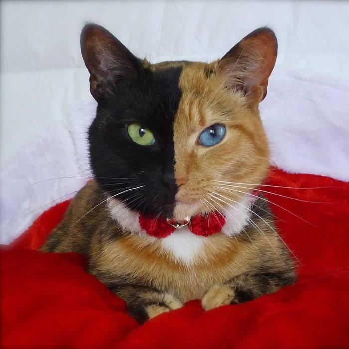 """Знакомьтесь: Venus - кошка с """"двумя лицами"""". Забавный окрас в сочетании с гетерохромией (разноглазием). Кот, Гетерохромия, Окрас, Видео, Длиннопост, Домашние животные"""