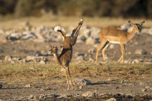 Импала удивила фотографа акробатическим этюдом Смешные животные, Акробатический трюк, Импала