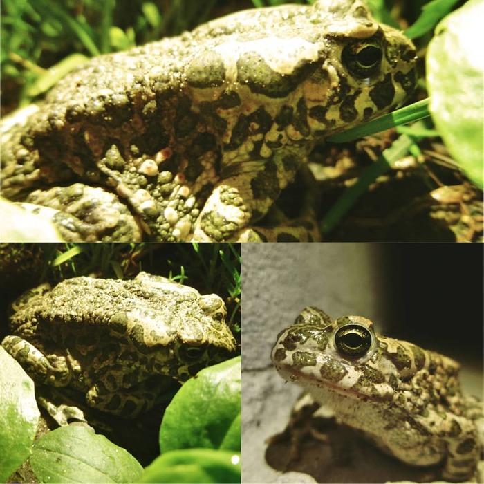 Ночные зеленые жабы. Земноводные, Животные, Фауна, Зоология, Длиннопост, Жаба