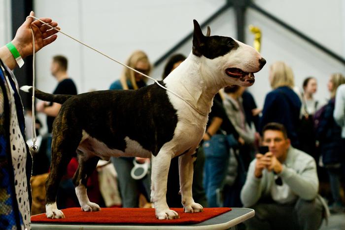 Похвастаюсь псом Бультерьер, Минибультерьер, Собака, Собаководство, Длиннопост