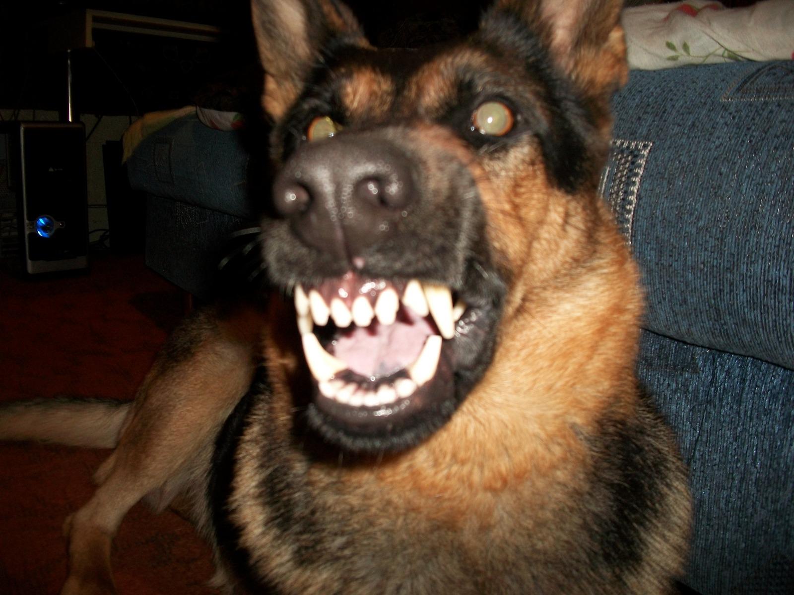 картинки овчарка собака