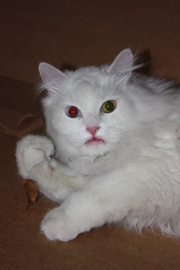 фото белый кот пушистый