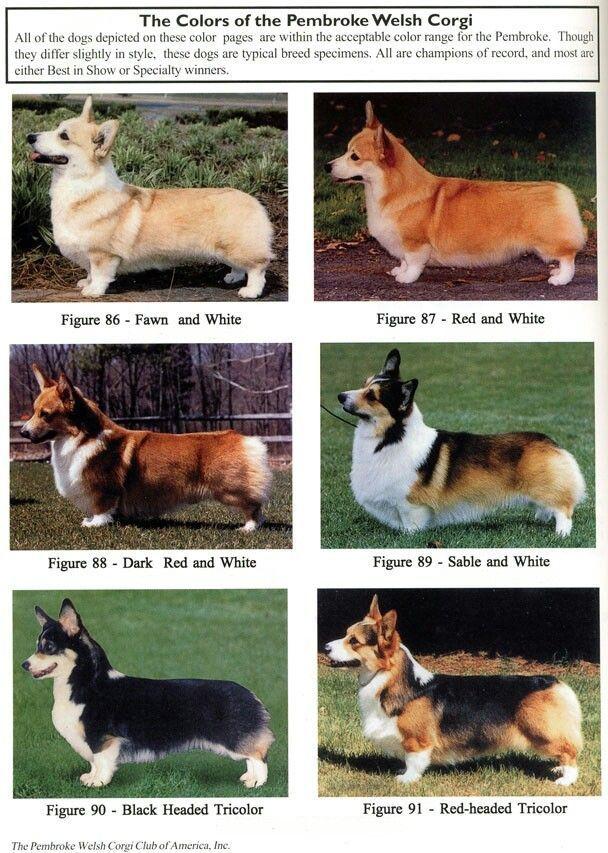 фото породы собаки корги