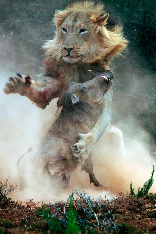 лев на охоте фото
