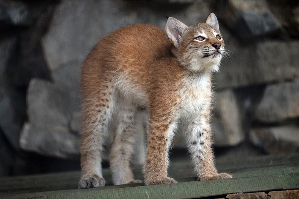 рысь фото кошка