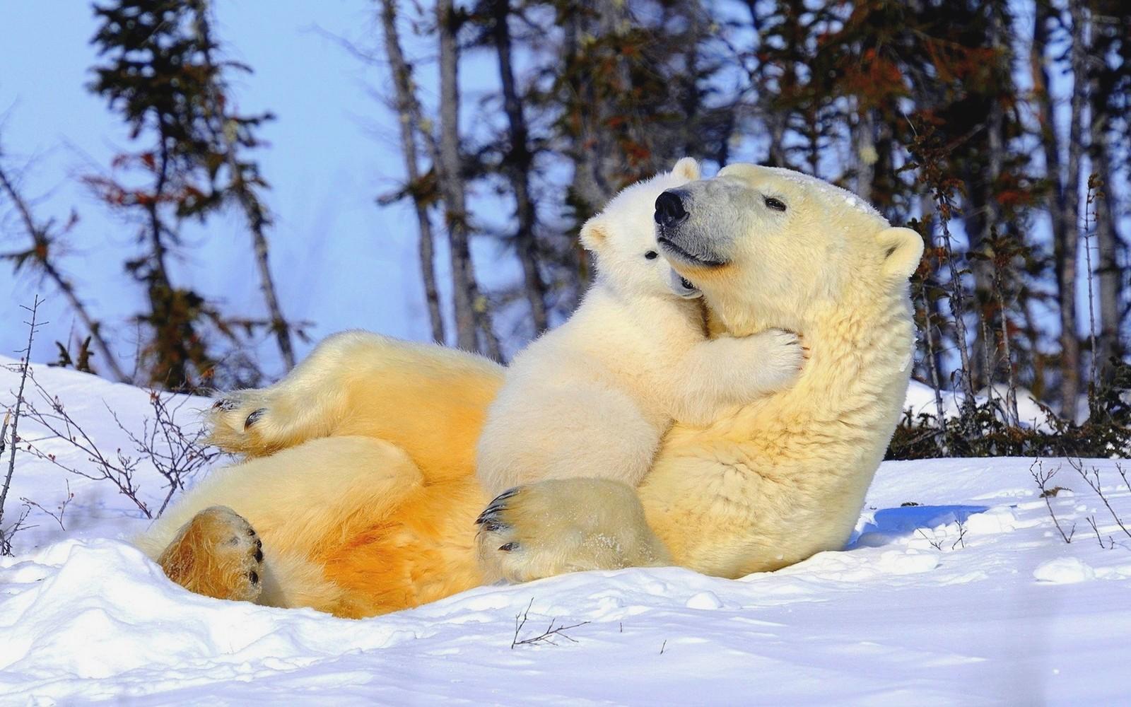 Обои Медведь, медведица, медвежата, ursus maritimus. Животные foto 17