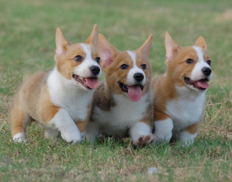 картинки корги собака