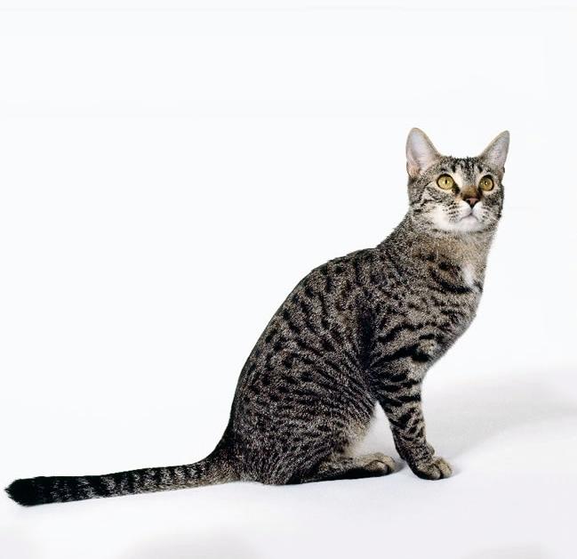 калифорнийский сияющий кот фото