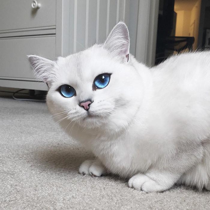 Кот с синими глазами порода