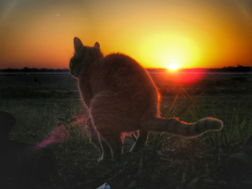 Кот срет на фоне заката