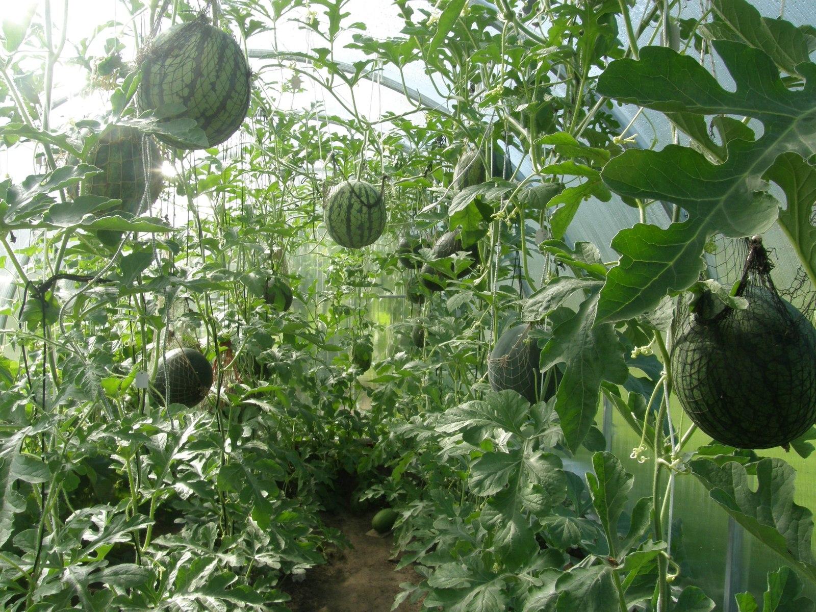 Арбузы в теплице из поликарбоната. Выращивание арбузов