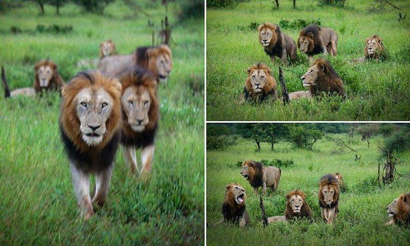 Оральеый секс львов