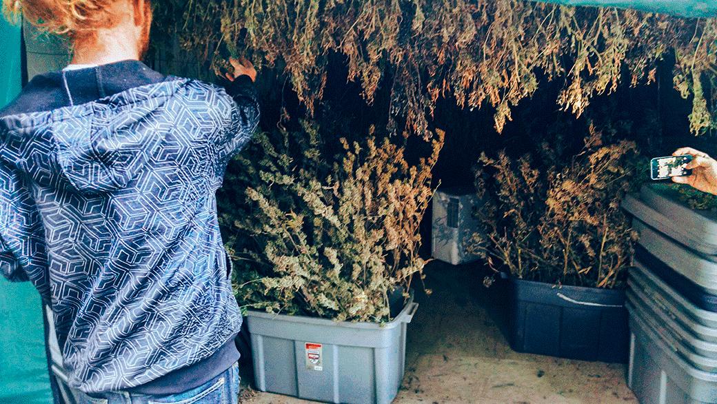 Выращивание конопли в калифорнии фоны с коноплей