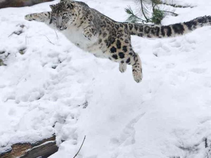 снежный барс по другому