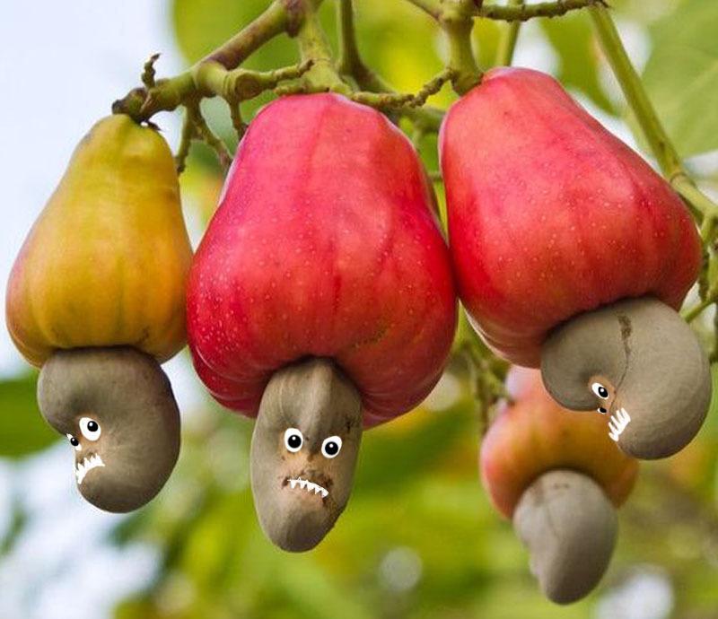 как растут кешью орехи фото
