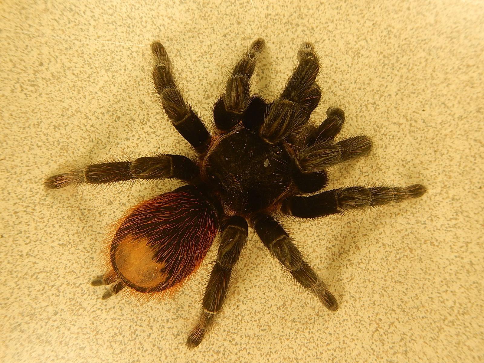 Пауки в домашних условиях: кормление, уход, размножение. Как 41