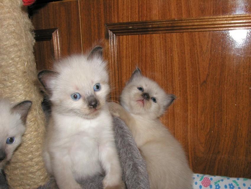 невская маскарадная кошка фото котята