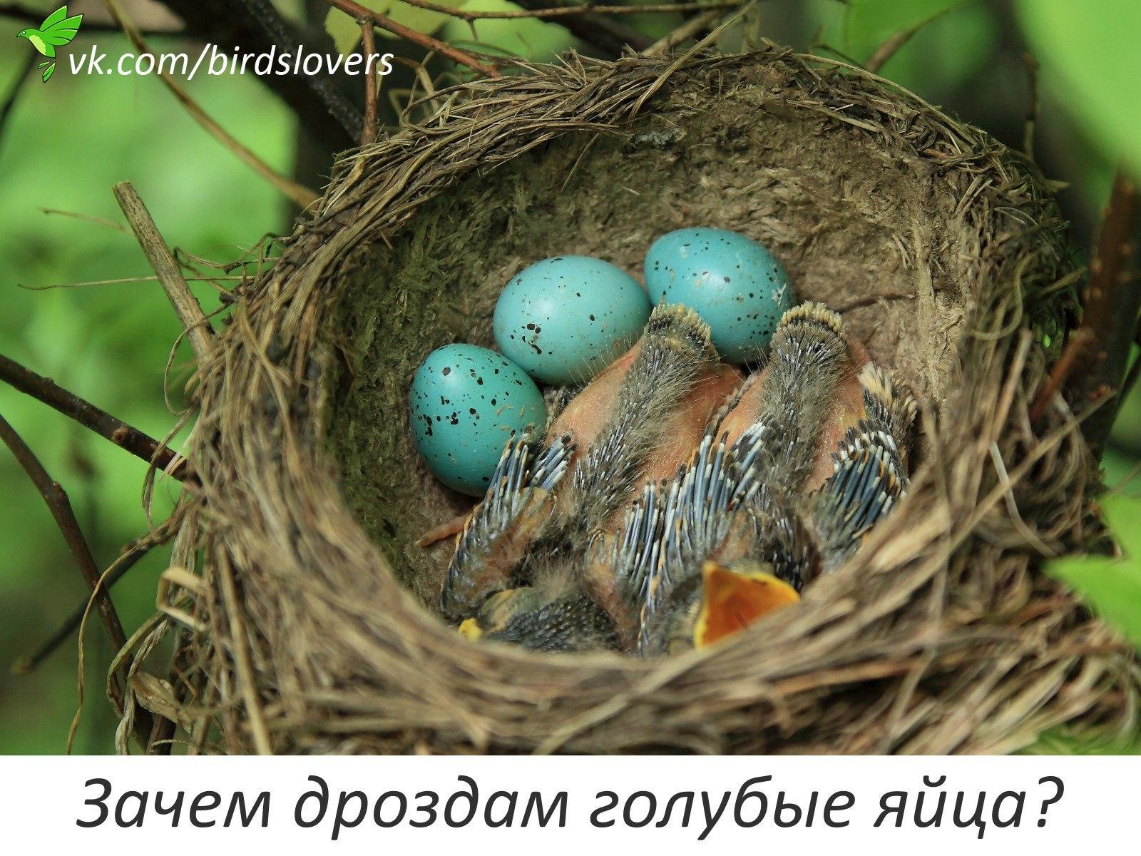 у кого из птиц голубые яйца