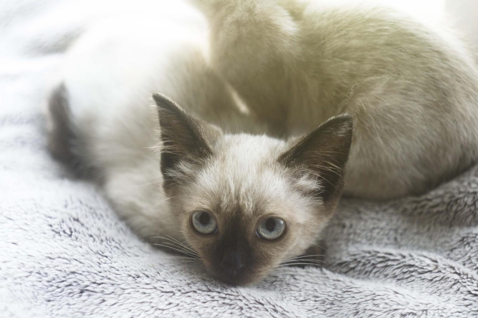 Кот сиамский+отдам
