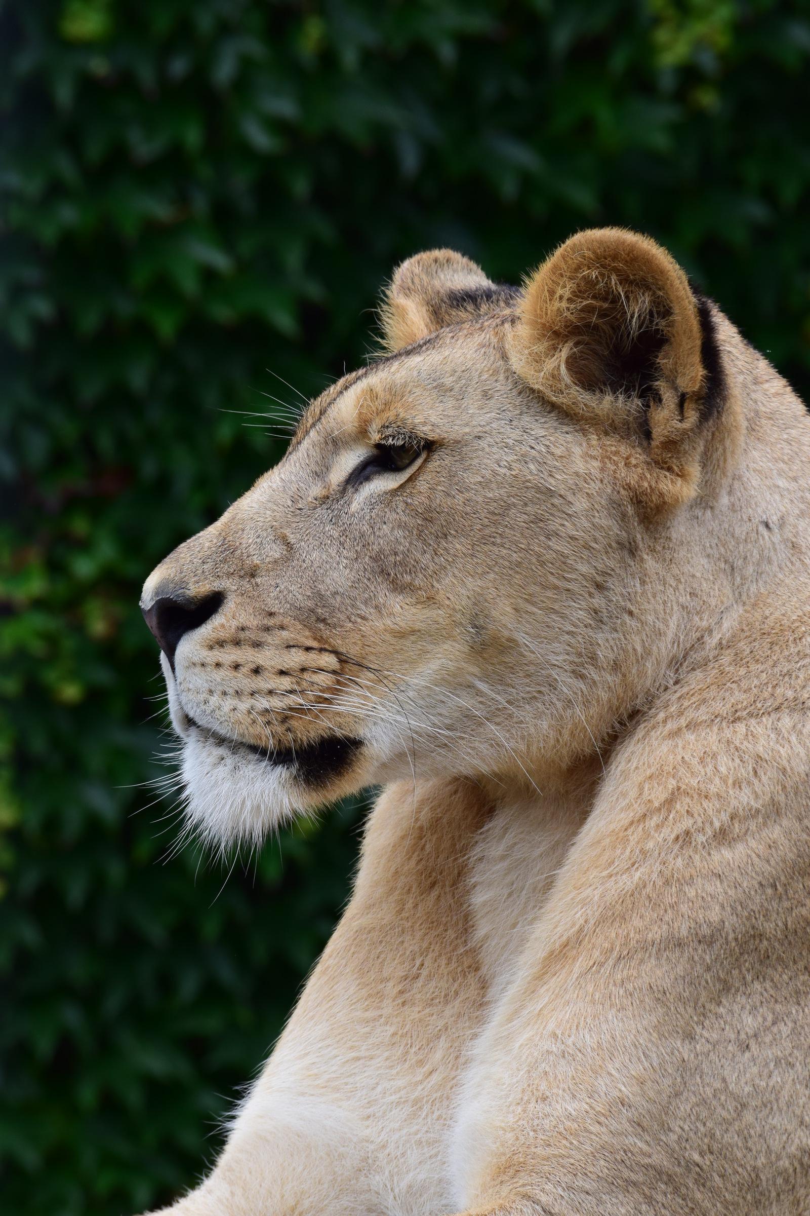 львы фото хорошего качества