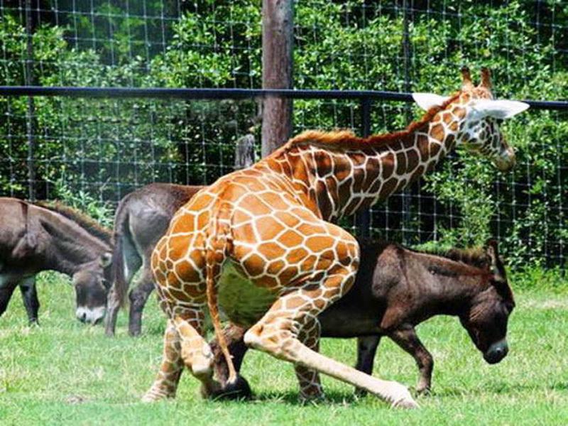 Картинка сексуального жирафа