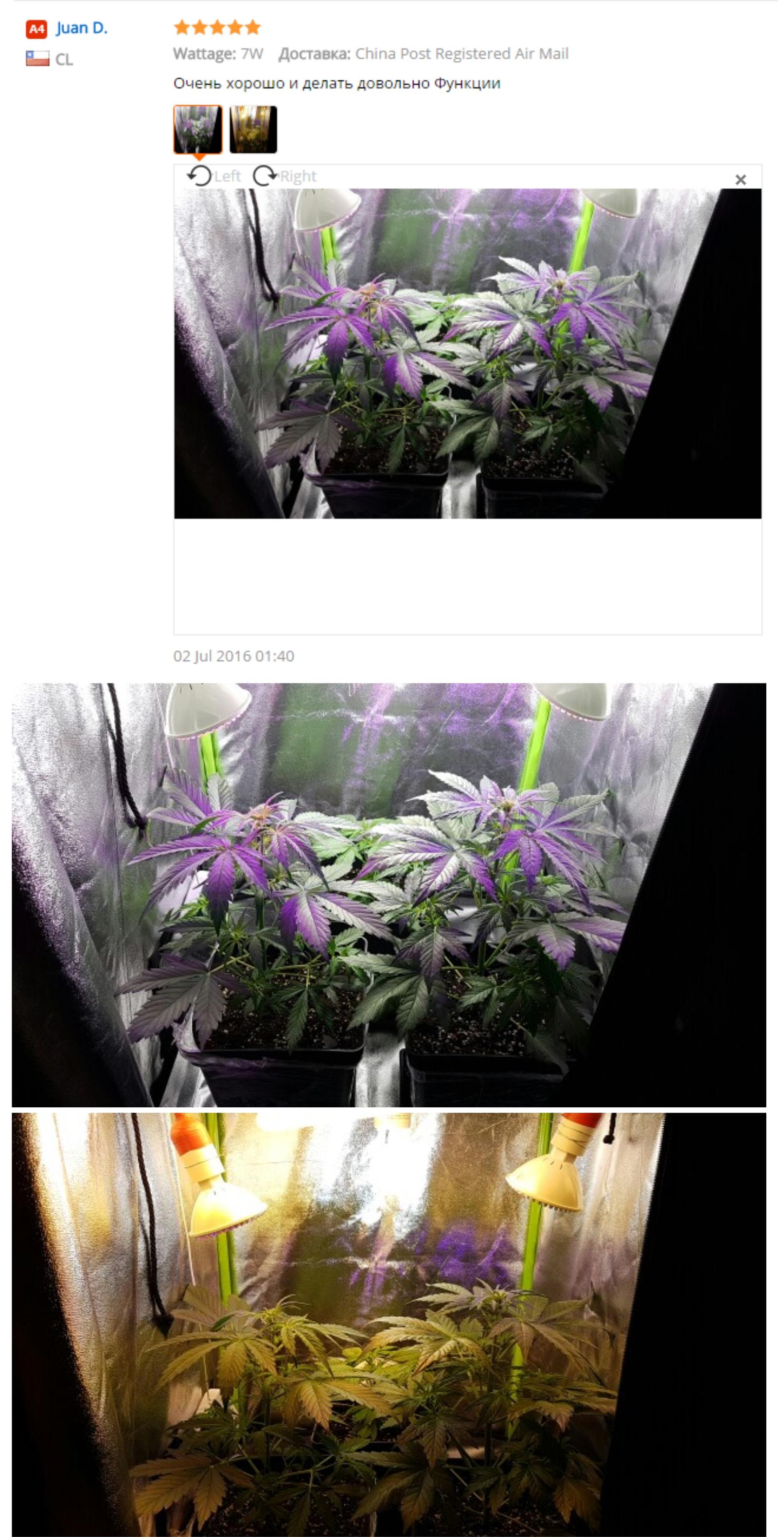 Что за растения в китае которое похоже на хуй