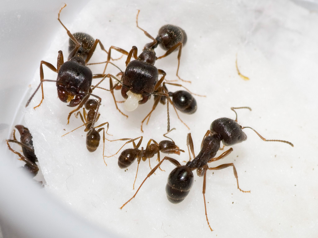 Муравьи жнецы - уход, питание, среда обитания и срок жизни 89