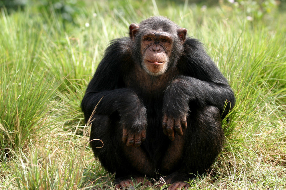человек и шимпанзе фото