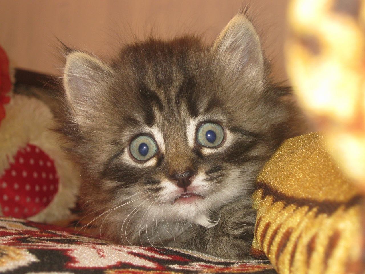 Породистые коты краснодар