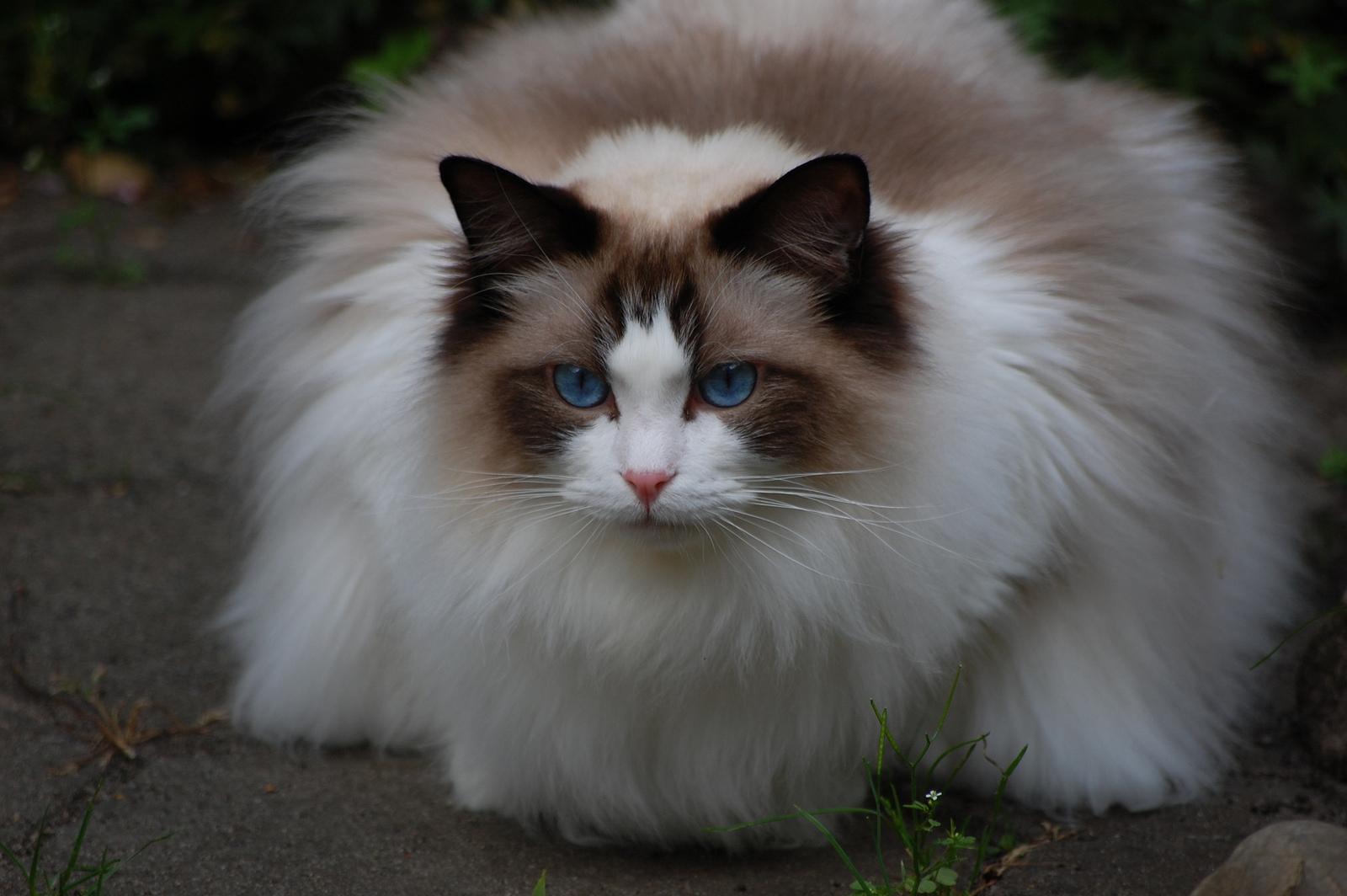 Картинки самых красивых пород кошек