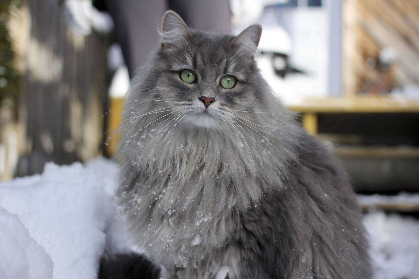 Какая порода кошек самая умная ТОП-10