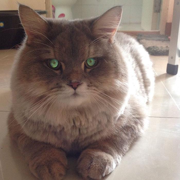Кот толстый пушистый