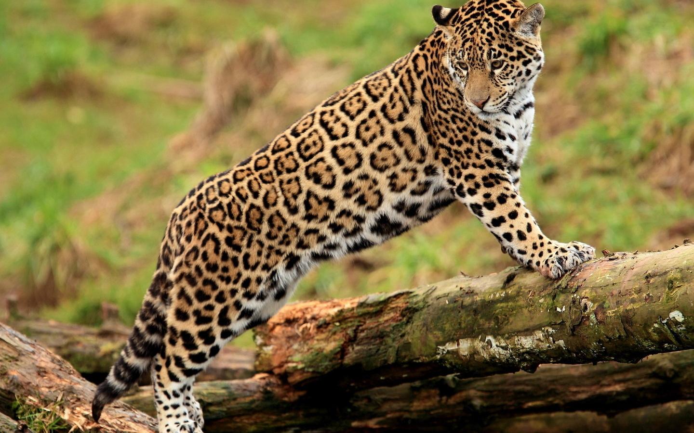 Обои детеныш леопарда, Милая мордашка. Животные foto 13