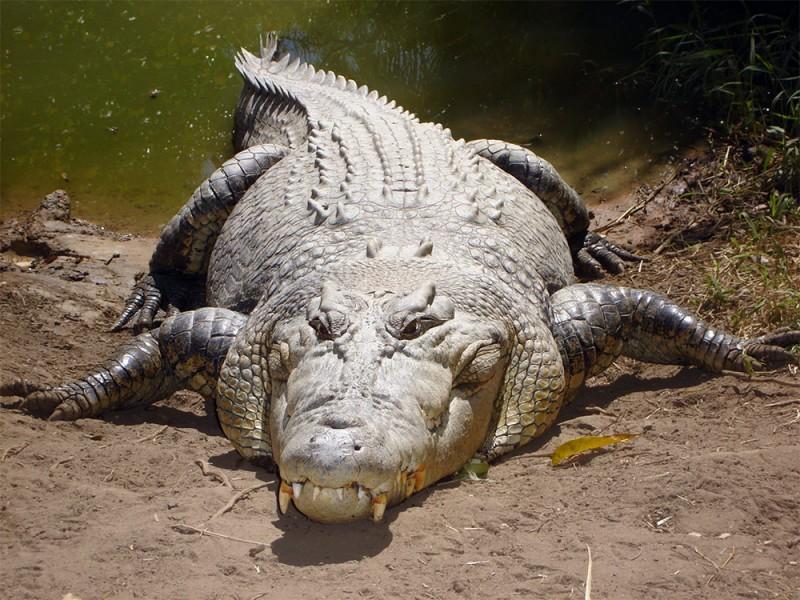 крокодил для 5 класса