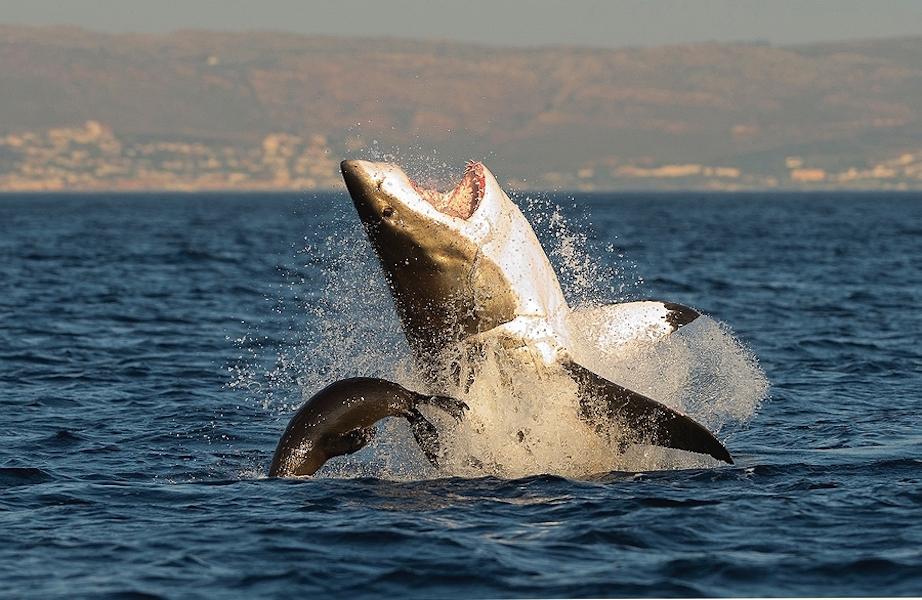 Что едят и как охотятся акулы? | 600x922