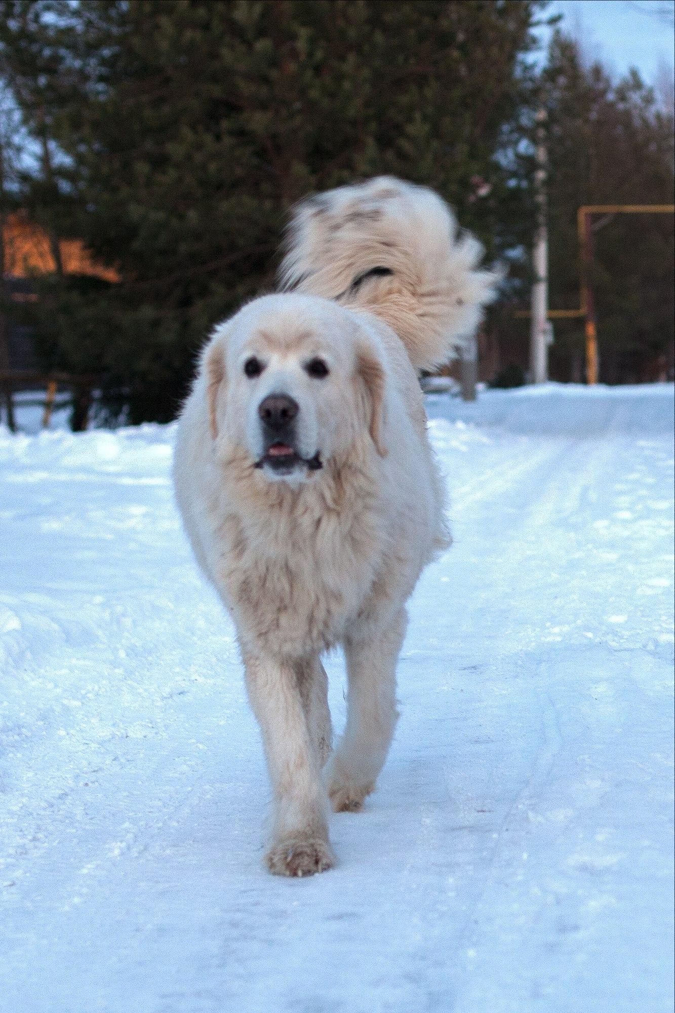 белая крупная собака