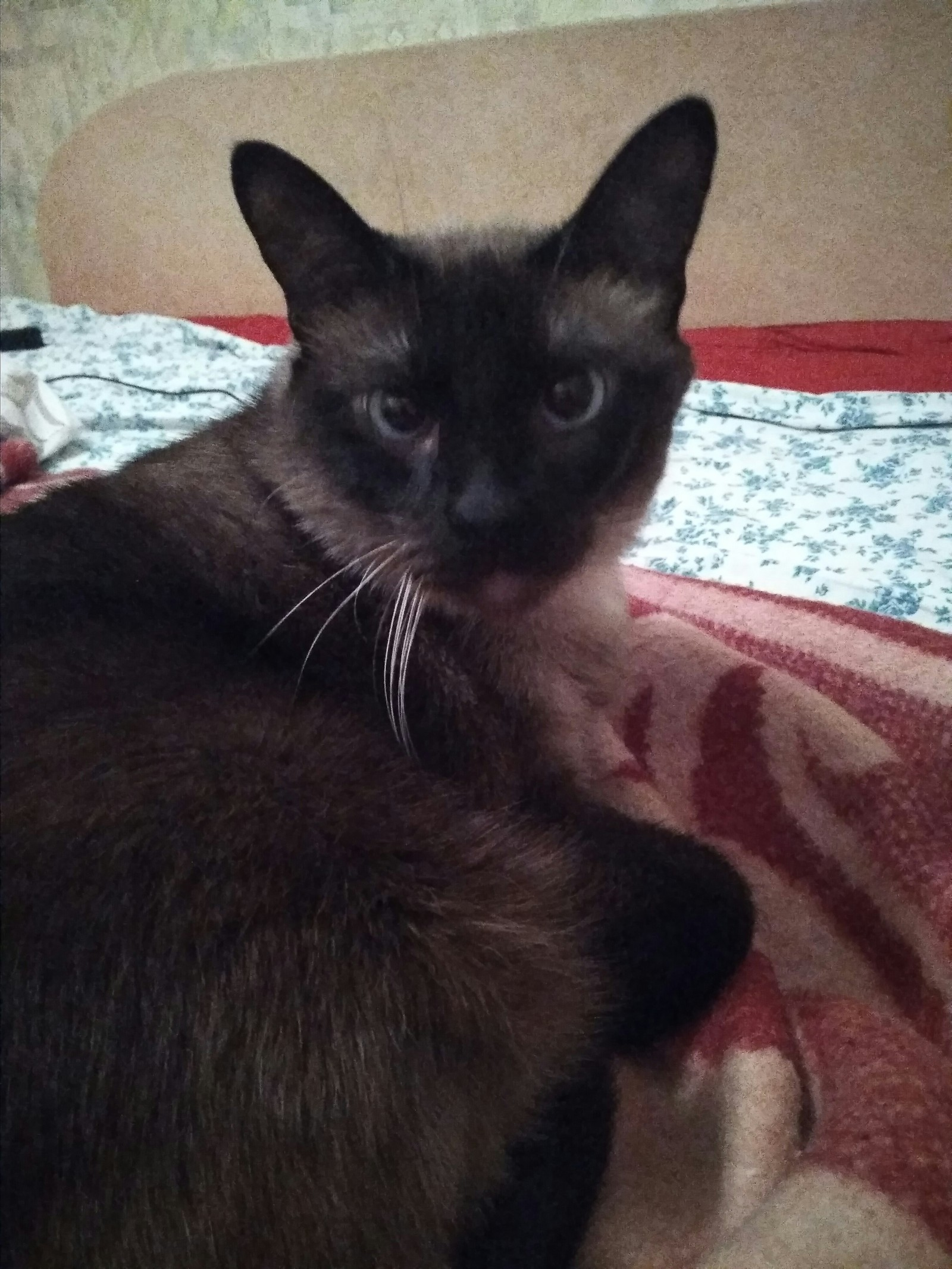сиамские коты кошки