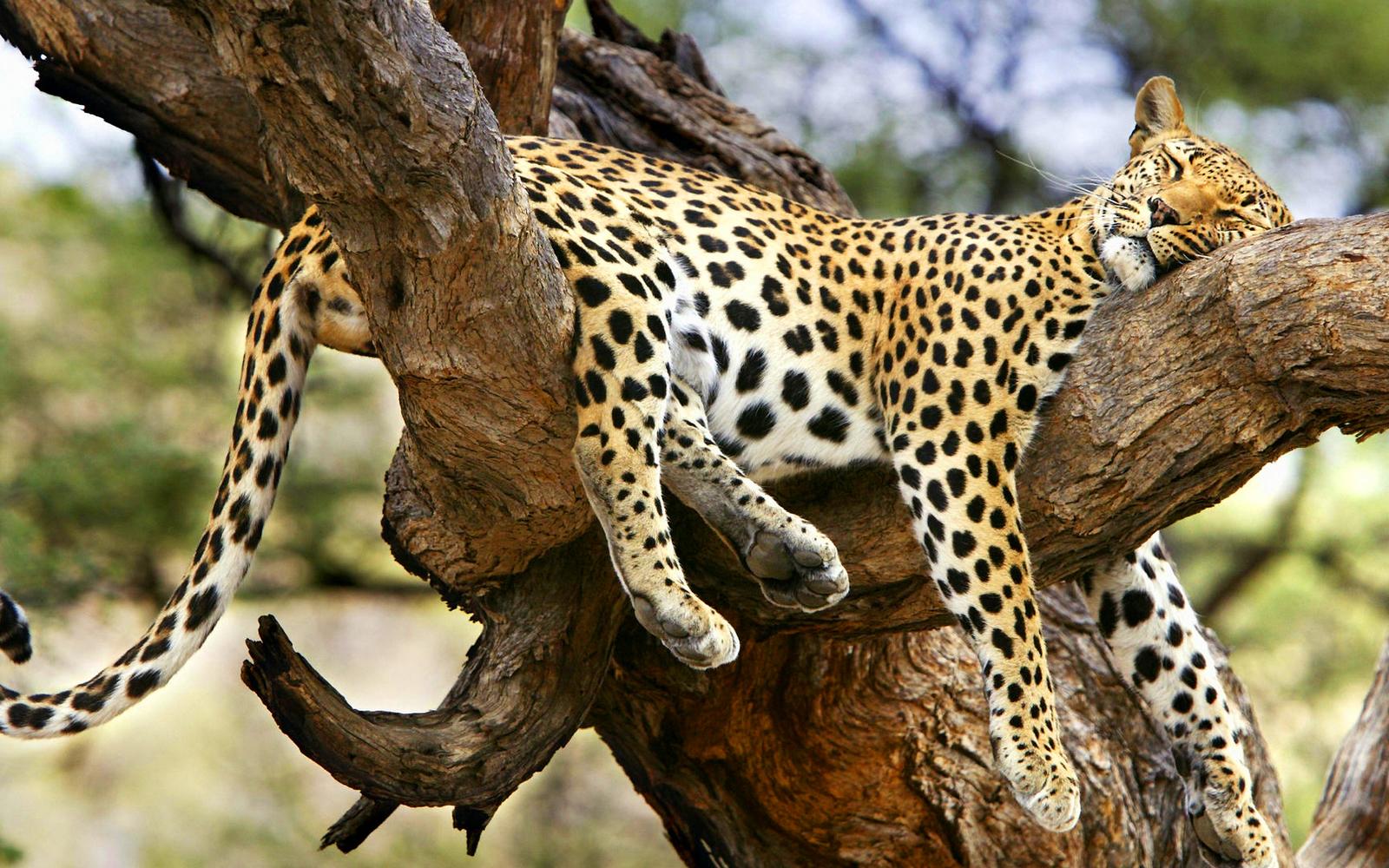 Обои на дереве, отдых, дикая кошка, леопард, африка, Хищник, лежит. Животные foto 15