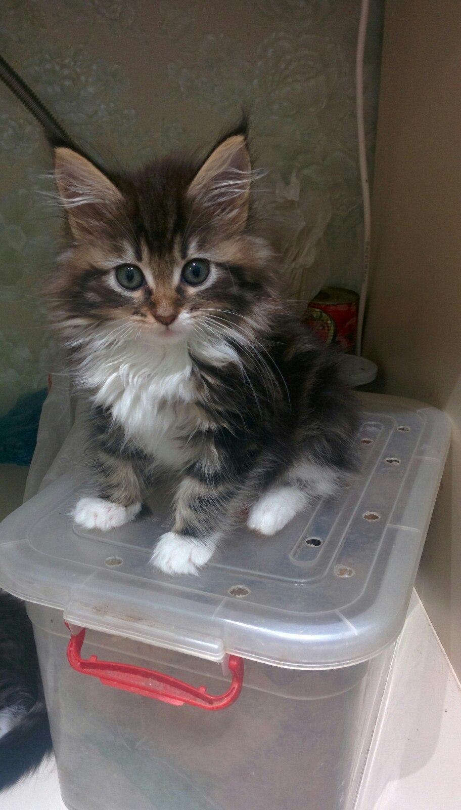 мэйкун котята фото