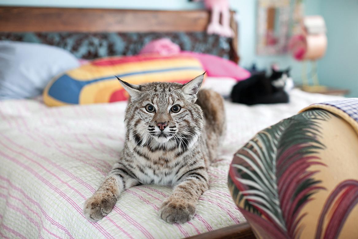 """Результат пошуку зображень за запитом """"кот бобкет"""""""