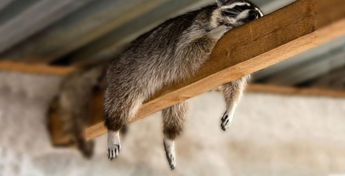 фото спящего енота пока